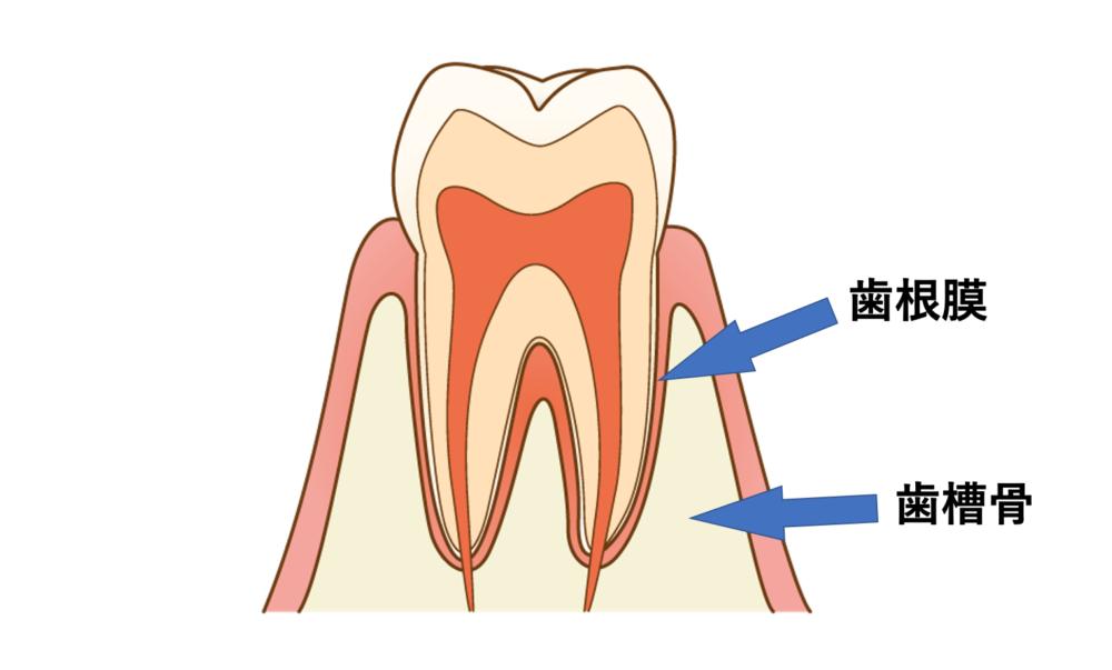 歯根膜と歯槽骨を示す絵